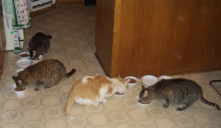 4 cats on kitchen floor eating up dishes of chicken-in-gravy